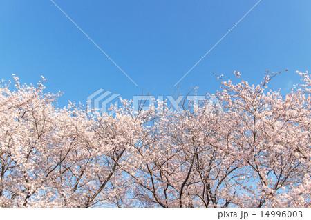 写真素材: 青空に栄える満開の桜