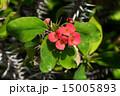 ハナキリン 花 多肉植物の写真 15005893