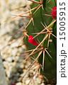 棘 メロカクツス·アーネスティー 多肉植物の写真 15005915