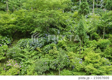 紫陽花の咲く山/愛媛県 内子町 15007600