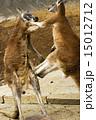 カンガルーのキックボクシング 15012712