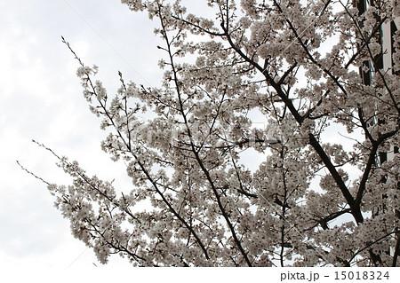 桜(京都府向日市) 15018324