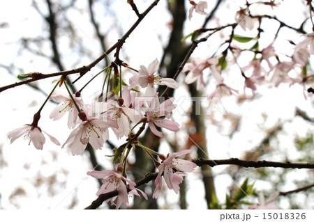 向日神社 桜(京都府向日市) 15018326
