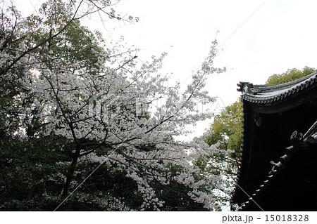 向日神社 社殿と桜(京都府向日市) 15018328