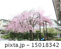 向日神社 桜(京都府向日市) 15018342