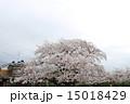 長岡京跡と桜(京都府向日市) 15018429