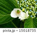 紫陽花とサツマノミダマシ 15018735