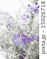 銀色の葉の美しいエレモフィラ 縦 15026718