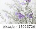銀色の葉の美しいエレモフィラ 横 15026720