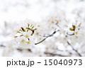 桜(ヤマザクラ) 15040973