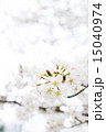 桜(ヤマザクラ) 15040974