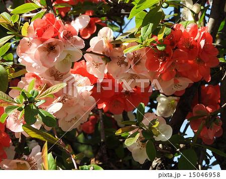 木瓜の花の美しさは格別、 赤・白・ピンクが混在しとても綺麗です。 15046958