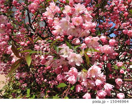 楊貴妃に例えられたほど、妖艶な美しさを誇るハナカイドウの花。 15046964