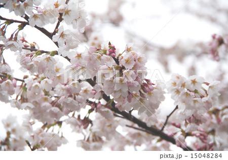 桜と雨 15048284
