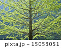新緑のイチョウ 15053051