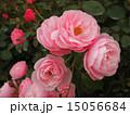 植物 ばら 15056684