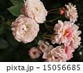 植物 15056685