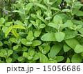 植物 ミント 15056686