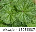 植物 はっぱ 15056687