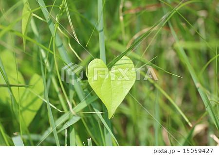 雑草の中で見つけたハートの葉っぱ 15059427