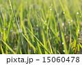 稲(コメ) 15060478