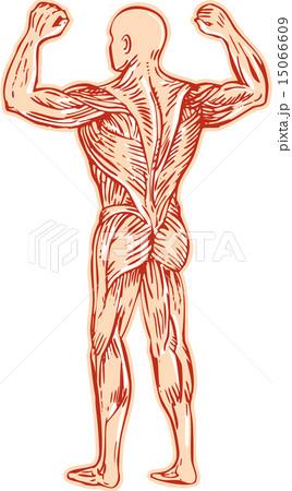 Human Muscular System Anatomy Etching 15066609