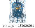 胆汁の 膵臓 解剖学のイラスト 15080891