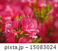 咲く 花 ツツジの写真 15083024