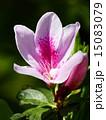 咲く 花 ツツジの写真 15083079