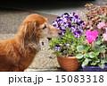 老犬 ミニチュアダックスフンド 犬の写真 15083318