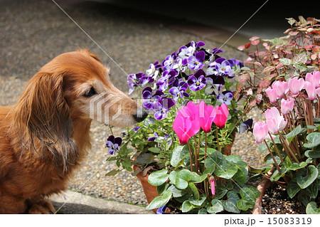 老犬と花 15083319