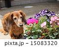 老犬 ミニチュアダックスフンド 花の写真 15083320