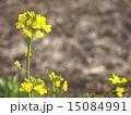 草花 菜の花 里山の写真 15084991