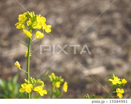 菜の花 15084991
