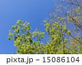 若葉 新緑 葉の写真 15086104