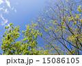 若葉 新緑 葉の写真 15086105