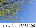 若葉 新緑 葉の写真 15086106