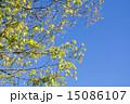 若葉 新緑 葉の写真 15086107