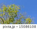 若葉 新緑 葉の写真 15086108