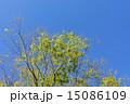 若葉 新緑 葉の写真 15086109