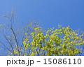 若葉 新緑 葉の写真 15086110