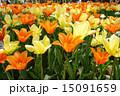 チューリップ畑 バレリーナ ビリレモン 15091659