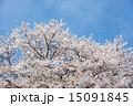 花 ソメイヨシノ サクラの写真 15091845