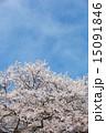 花 ソメイヨシノ サクラの写真 15091846