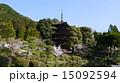 瑠璃光寺五重塔 寺 桜の写真 15092594