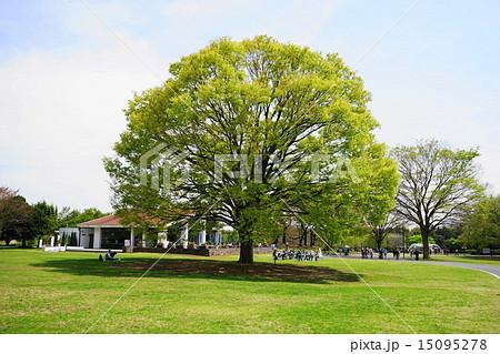 4月は ケヤキ・ニレ科236萌黄色の若葉 15095278