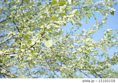 若葉が綺麗なギンドロの葉と実 15103158