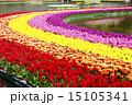 浜松フラワーパーク 花 チューリップの写真 15105341