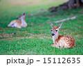 Deer fawn on grass 15112635