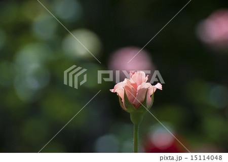 五分咲きの薔薇 一輪  15114048